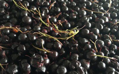 Black Currants into the Chianti Foudre