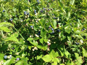 Blueberry farm berries