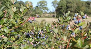 Bornholmer Blueberries