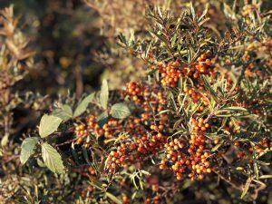 Pretty Sea Buckthorn