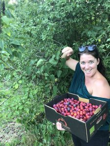 Red plum picking